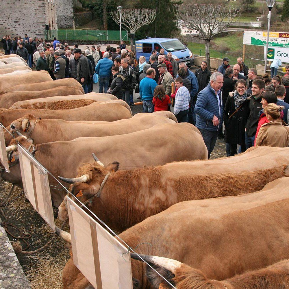 tersons pierrefort aubrac vaches