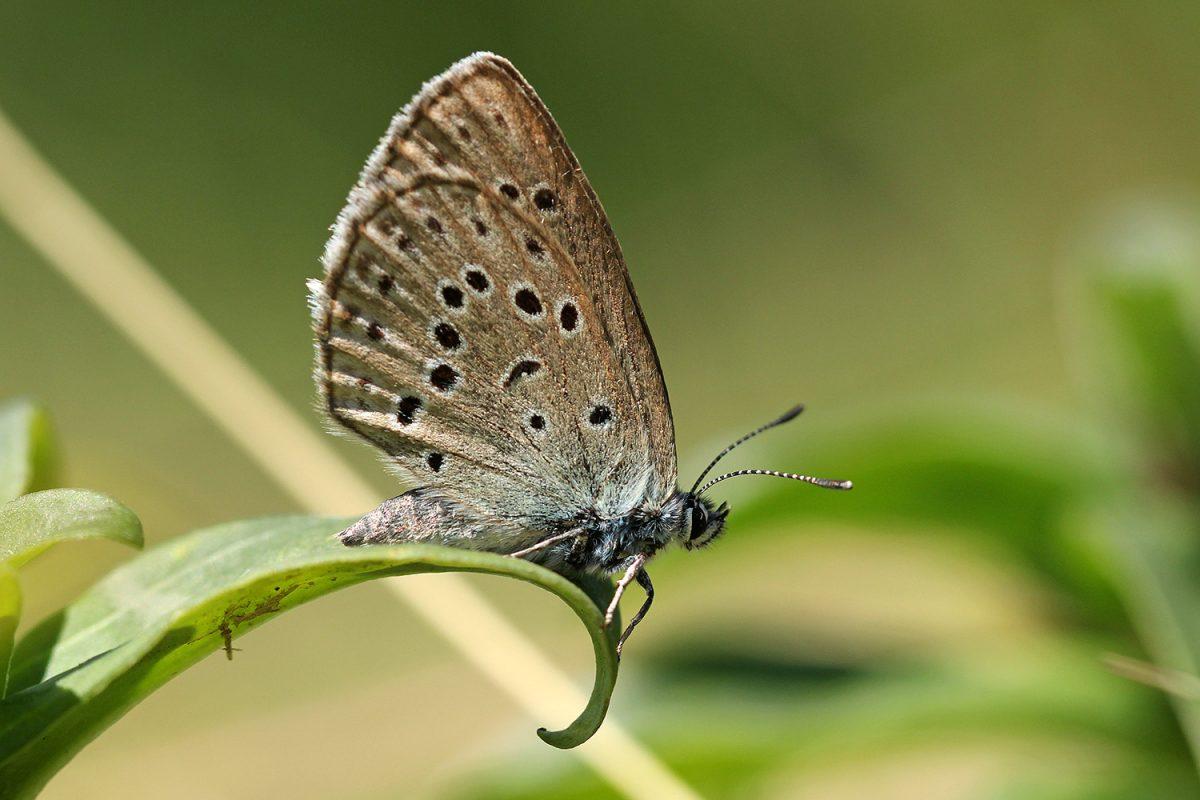 Azuré des Mouillères (femelle)